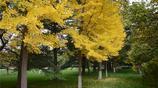深秋時節 你知道蘭州哪裡的銀杏葉最好看嗎?