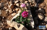 大馬士革玫瑰