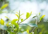 茶文化之養生趣談