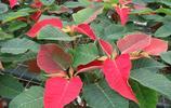植物圖集:一品紅