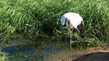 動物圖集:這是一隻舉止優雅、體態輕盈、富有紳士風度的丹頂鶴