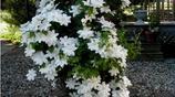 一鳴驚人的9種爬藤植物,好看且不貴,很簡單就讓陽臺成為小花園