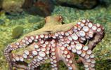 動物圖集:長得很嚇人的章魚,卻是很多人的心頭愛