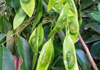 海南黃花梨和越南黃花梨有什麼區別?