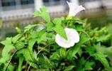 很多人見到這種花還以為是牽牛花,但它不是牽牛花