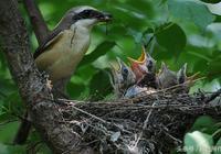 寵物專題|伯勞鳥的收鳥和簡單的換食訓練