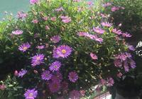 別再養綠蘿吊蘭了,此盆栽漂亮又好養,四季花開不斷,南北都能種