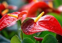紅掌養不好,花兒由紅變綠,那是你沒注意這些方面
