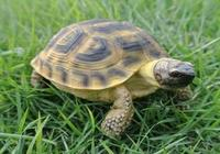 走近草原中的陸龜——四爪陸龜!