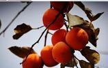 陶辛鎮後沙村,柿子紅了