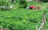 帶孫兒的老人閒不住,墾荒種200多斤花生,一年四季蔬菜不用買