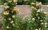 這些爬藤花懶人也能養活,只要種一次可以養20年,庭院秒變花園