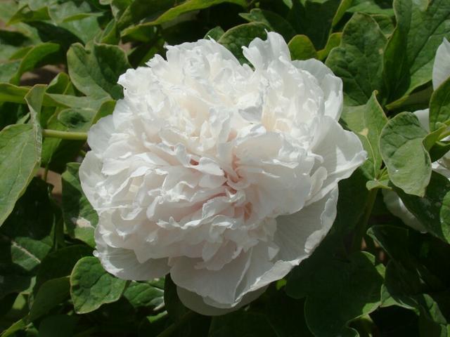 呂洞賓和牡丹仙子的傳說