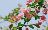 花卉圖集:海棠花