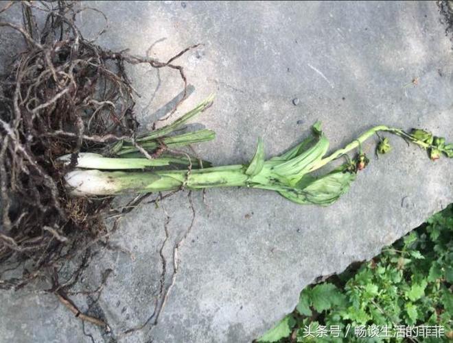 採蘑菇時挖回來的,聽說這也是蘭花的一種,你認識它嗎?