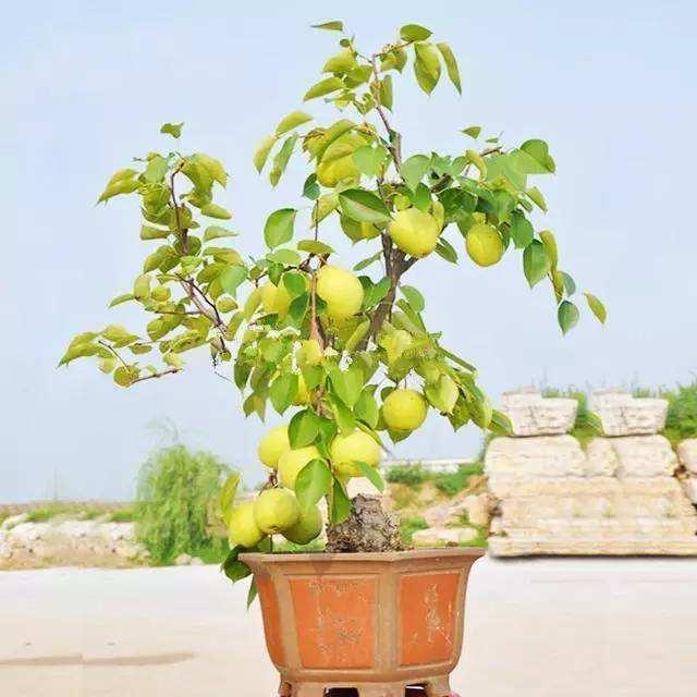 花卉養膩了,試試養樹吧!梨樹養成盆景放家裡,品位提升不少!