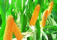 飼料與營養|飼料的自動氧化對其營養價值的影響