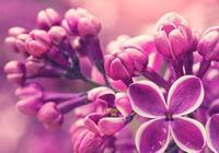 老花匠教您養護紫羅蘭的小技巧,掌握技巧養出的紫羅蘭非常美麗