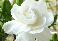 一朵梔子花