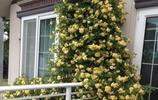 老花農推薦,這些爬藤花卉養在庭院,瞬間提升家裡的檔次