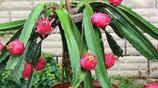 第一次去嫂子家,陽臺的果樹結的果多到吃不了,回家我也要種