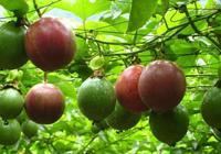 百香果怎麼種?這樣做,四季花開,碩果累累!