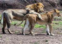 非洲雄獅能打得過美洲豹嗎?