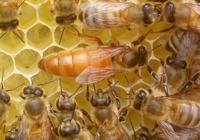 蜂王怎麼識別和尋找?怎樣鑑別蜂王的好壞?