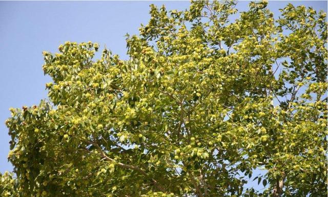 為什麼在農村很普遍的樹,會被國家重點保護?說出來你都不一定信