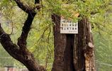 竹溝彩雲谷奇樹,牌子上寫著:黃連木,樹齡1110年,國家一級古樹
