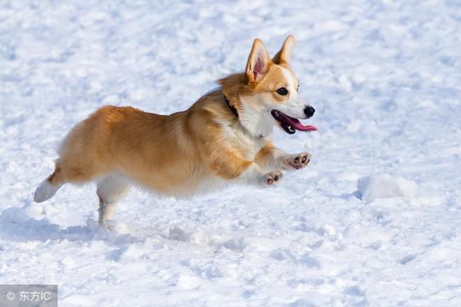 有一種萌叫做:柯基萌   柯基犬不僅顏值高,小短腿跑起來也可愛