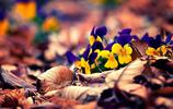花卉圖集:紫羅蘭