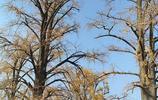 隨州千年銀杏樹,滿樹綠葉換新裝!一地金黃似地毯!