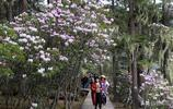 想到迪慶賞杜鵑,這份最全迪慶知名杜鵑長廊花期地圖請收藏!