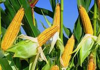 為什麼是玉米而不是大米 , 在中國種植最多的農業作物