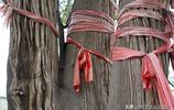 """奇觀,山西農村千年唐柏上長出椿樹,""""柏抱椿""""你見過嗎"""