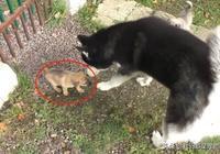二哈在路邊發現3只小狗,主人想抱它們回家,結果母犬來了