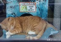 """貓咪被寵物店收養,可它沒有吃白食,認真""""工作""""的它還抓過小偷"""