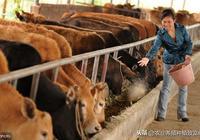 養牛禁忌和養牛注意事項