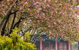 濟南大明湖的西府海棠