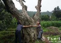 陸良發現一連片古板慄樹群