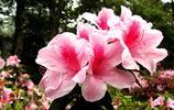 花卉圖集:杜鵑花