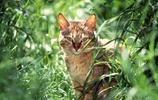 美國短毛貓的基因突變品種:美國剛毛貓
