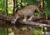 黑美洲豹,看上去是不是比美洲豹更凶猛?