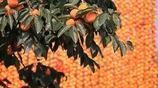 金秋十月柿子紅了,來陝西富平曹村看晒柿餅的遊客多了起來