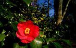 花卉圖集:山茶花
