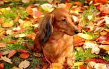 動物圖集:動作靈敏的獵犬