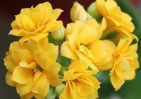 怎樣育長壽花?