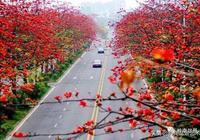 木棉格(型)盆景