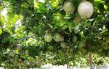 出於愛吃百香果,就動手種了一顆,沒想到有一家吃不完的果